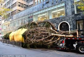 taller than 13 rockettes 76 foot norway spruce arrives in new