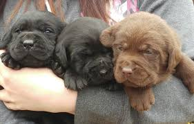 chocolate labrador dogs puppies rehome buy sell