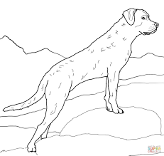 chesapeake bay retriever coloring page free printable coloring pages