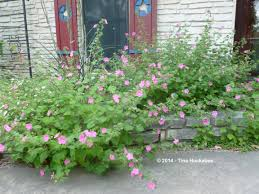 texas native plants native texas plant week my gardener says u2026