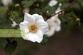 gap gardens rubus benenden benenden bramble ornamental