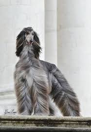 afghan hound hairstyles magnificent afghan hounds pinterest animals dog animals