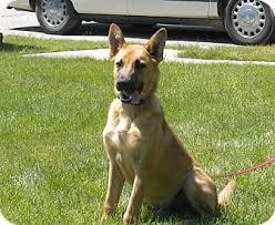 belgian shepherd short hair benny adopted dog south haven mi german shepherd dog