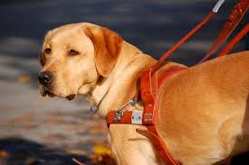 Pictures Of Blind Dogs Facts About Guide Dogs From Goats To Soaps