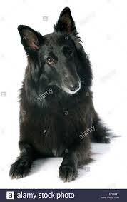 belgian sheepdog groenendael picture of a purebred belgian sheepdog groenendael stock photo