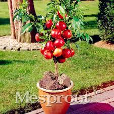free shipping 50 pcs bag dwarf bonsai apple tree delicious fruit