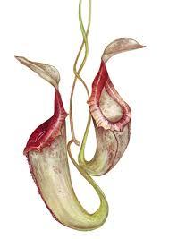 pitcher plant illustration nation pinterest pitcher plant