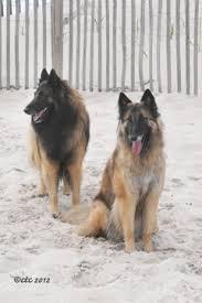 belgian sheepdog breeders new york welcome to tervs com home of the chimeric belgian tervuren