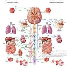 Nervous System Human Anatomy Autonomic Nervous System Fairman Studios