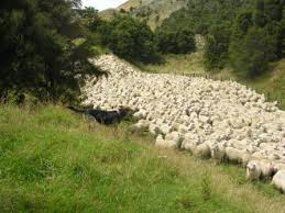 australian shepherd herding sheep co habitating with a herding dog thedogtrainingsecret com