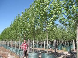 tree nursery western australia trees advanced trees perth