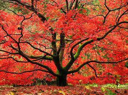 four fantastic trees for fall foliage