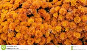 fall blooming flowers background orange flowers harvest mums royalty free stock photo