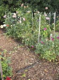 small plant supports dahlia support ideas u2013 what are the best ways to stake dahlias