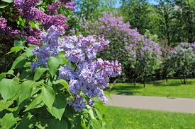 moving lilac shrubs u2013 tips on how to transplant a lilac in the
