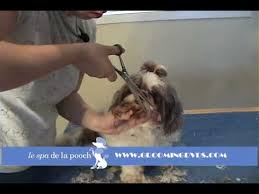 how to cut a shichon s hair how to groom a shih tzu trim the dog s face cut around eyes on