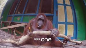 Bbc Creature Comforts Bbc U0027robot Baby Monkey Camera U0027 Draws Attention From Pack Of Iangur