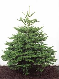 real christmas trees for sale real christmas trees for sale delivered london and uk
