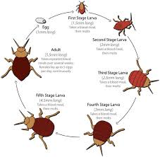 Bed Bug Exterminator Detroit Bed Bug Facts Images Info And Life Cycle Detroit Michigan