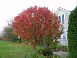 pix for flowering pear tree in fall bradford pear trees