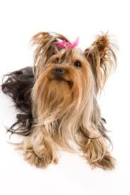 types of yorkie haircuts pictures how to know if your yorkie has a silk coat or soft coat pets