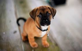 cute dog wallpapers dog wallpapers hd pixelstalk net