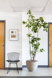 large indoor trees that make a bold statement apartment therapy