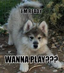 Wolf Meme - wolf pup at play memes lol