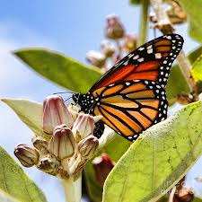 wings up monarch butterfly by diana sainz photograph by diana sainz