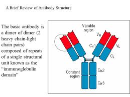 heavy chain light chain the basic antibody is a dimer of dimer 2 heavy chain light chain