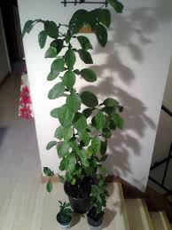 how to grow citrus trees from seed in the garden earth