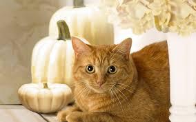halloween cat backgrounds cute cat wallpaper pumpkin