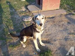 bluetick coonhound lab mix puppies for sale german shepard bluetick coonhound mix for sale in granton