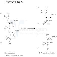 enzyme manual ribonuclease a