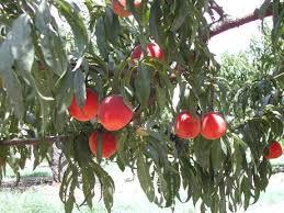 What Fruit Trees Grow In Texas - the 10 best pick your own farms in texas