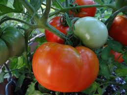Bonnie Plants Patio Tomato Best Tomato Varieties For The South Hgtv