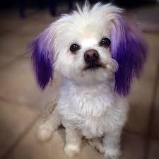 best 25 dog hair dye ideas on pinterest kool aid hair kool aid