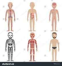Human Anatomy And Body Systems Illustration Human Body Systems Stock Vector 530272156 Shutterstock