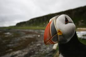 top 8 puffin spots in iceland iceland travel blog