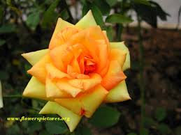 Picture Of Roses Flowers - rose flower pictures meanings of rose flowers rose pics