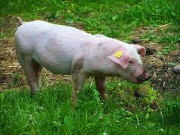 graduatedvesting cf pig production business plan