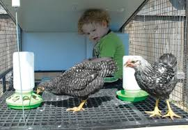 Best Laying Hens For Backyard Top 10 Questions And Answers About Backyard Chickens Countryside