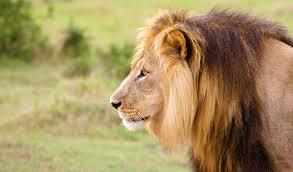 when lions open car doors on safari u2013 nat geo tv blogs