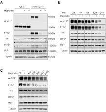 hepcidin regulates ferroportin expression and intracellular iron