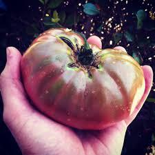 five tomato growing tricks you need to start using u2013 growjourney