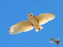 Where Does The Barn Owl Live Barn Owl Biology Owling Com