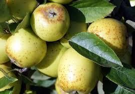 Online Fruit Trees For Sale - lemon pippin apple trees for sale buy online friendly advice