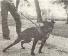 american pitbull terrier kingfish bloodline istory of gr ch adam u0027s zebo 7xw r o m central coast kennel