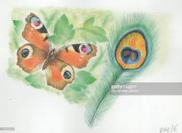 european peacock butterfly inachis io and peacock feather