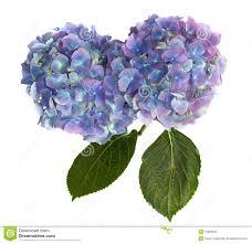 Hydrangea Flowers Purple And Blue Hydrangea Flower Heads On White Stock Photos